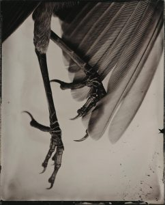 "Soft Landing, 2013, silver print from wet plate, collodion glass negative 24"" x 20"""