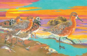 "Red Knot: A Shorebird's Incredible Journey (cover image), 2006. Colored pencil, 17"" x 11""."